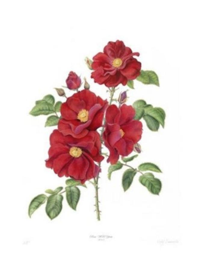 W.B.Yeats Rose: Scarlet Floribunda. A new variety of Irish rose bred for the 150th anniversary of W.B. Yeats. Botanical Artist: Holly Sommerville