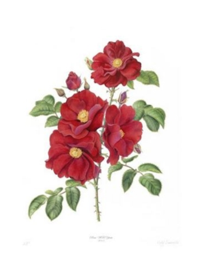 W.B.Yeats Rose: Scarlet Floribunda. A new variety of Irish rose bred for the 150th anniversary of W.B. Yeats. Botanical Artist: Holly Sommerville